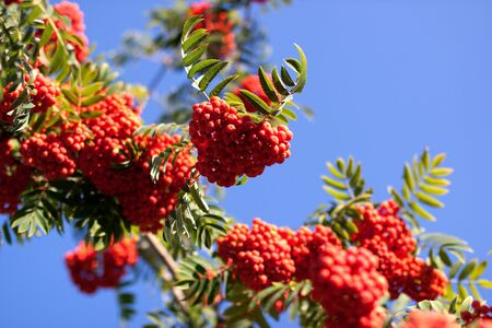 european rowan: European Rowan, Sorbus aucuparia, with its orange berries in summer Stock Photo