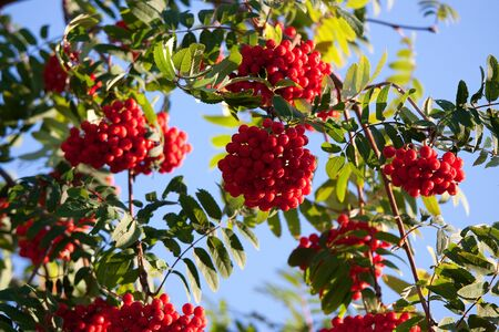 sorbus aucuparia: European Rowan, Sorbus aucuparia, with its orange berries in summer Stock Photo