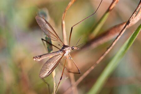 crane fly: European Large Crane Fly, Tipula maxima, in summer