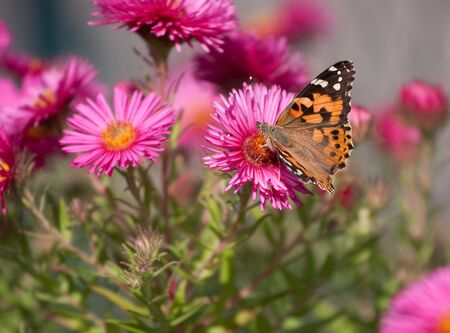 Painted Lady (Vanessa cardui) butterfly on bright flowers in summer Stock Photo - 5682335