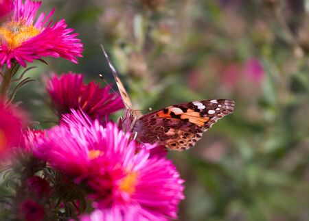 Painted Lady (Vanessa cardui) butterfly on bright flowers in summer Stock Photo - 5682332