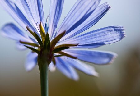chicory flower: Common chicory flower, Cichorium intybus, in summer