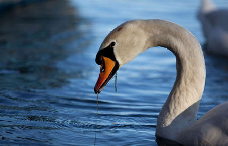Swan in Lake in Autumn at the End of November photo