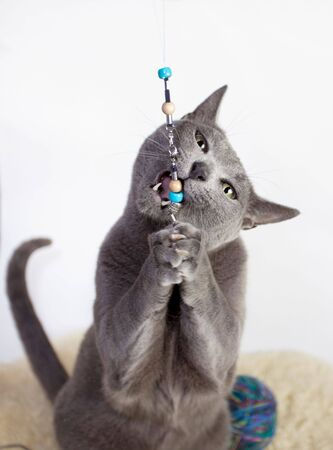 Portrait of a Russian Blue Cat playing, studio shot, white background photo