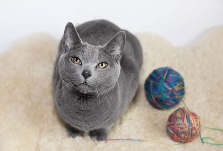 Portrait of a Russian Blue Cat, playing with ball of wool, studio shot Stock Photo - 6199390