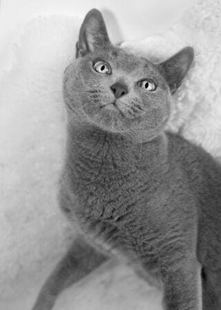 Portrait of a Russian Blue Cat, studio shot Stock Photo - 6199382