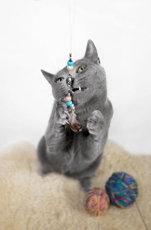 russian blue: Portrait of a Russian Blue Cat, playing with ball of wool, studio shot, white background Stock Photo