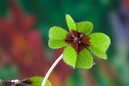 Four - Leaved Clover, green with red center Stock Photo - 6260459