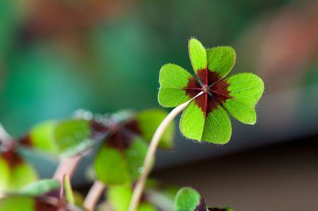 4 - Leaved 클로버, 빨간색 센터와 녹색 스톡 콘텐츠
