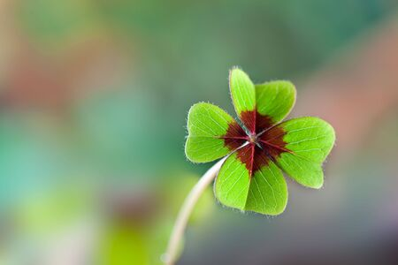 Four - Leaved Clover, green with red center Stock Photo - 6321763