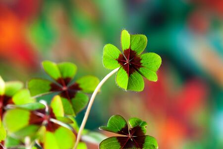 Four - Leaved Clover, green with red center Stock Photo - 6321688