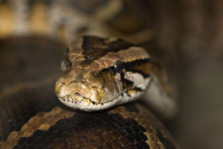 Diamond Python Morelia spilota head detail shot Stock Photo