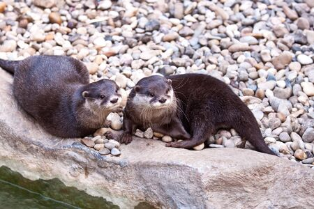 small clawed: Oriental Small clawed Otter, Aonyx cinerea