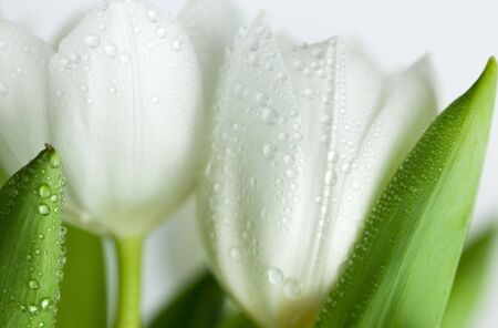 White Tulips with water drops on white background Stock Photo - 6710825