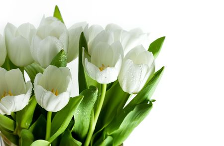 White Tulips with water drops on white background photo