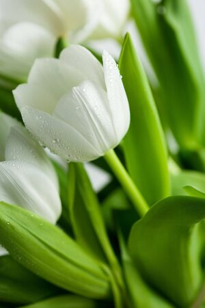 White Tulips with water drops on white background