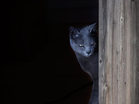 Portrait of a Russian Blue Cat, studio shot Stock Photo - 6802100