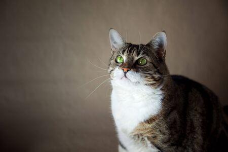 Portrait of a common european house cat, studio shot photo