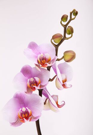 Orchid flowers isolated on white studio shot photo