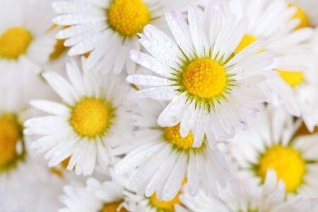 Daisy flowers on white background studio shot Stock Photo - 7135035