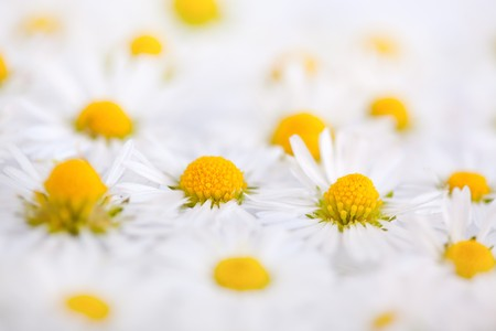 Daisy flowers on white background studio shot photo