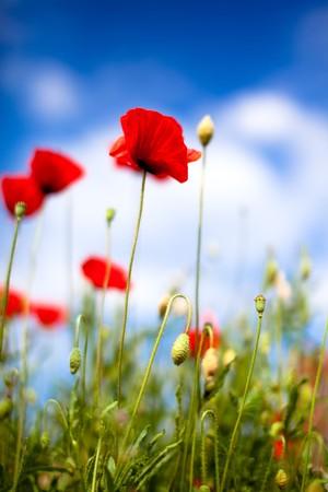 poppy flowers: Field of Corn Poppy Flowers Papaver rhoeas in Spring Stock Photo