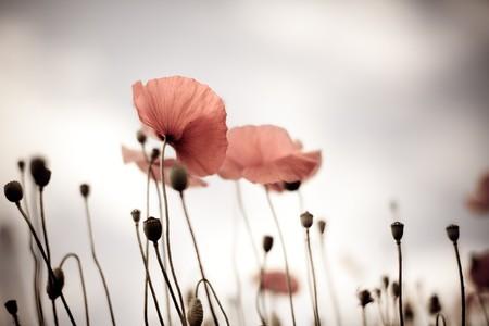 Champs de maïs de pavot fleurs pavot rhoeas au printemps  Banque d'images