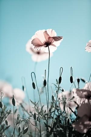 papaver: Field of Corn Poppy Flowers Papaver rhoeas in Spring Stock Photo