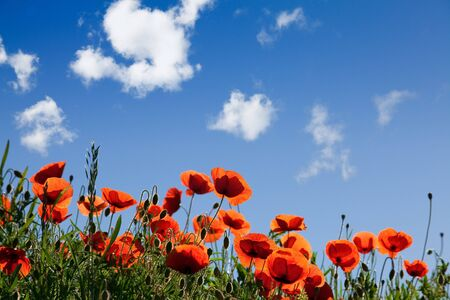 Field of Corn Poppy Flowers Papaver rhoeas in Spring Stock Photo