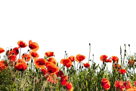 papaver: Field of Corn Poppy Flowers Papaver rhoeas in Spring isolated on white
