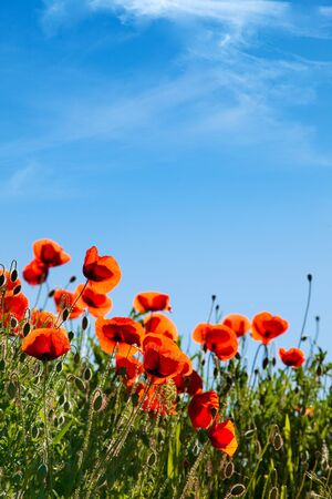 red poppies on green field: Field of Corn Poppy Flowers Papaver rhoeas in Spring Stock Photo