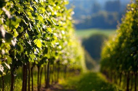 Vineyard in Southwest Germany Rhineland Palatinate in Summer Stok Fotoğraf - 7721318