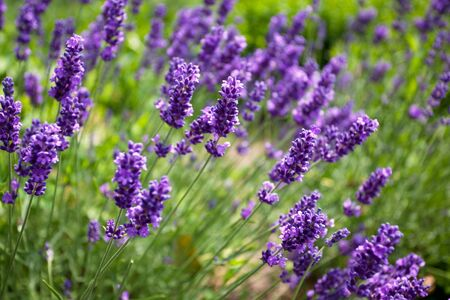 Lavender growing in summer garden closeup with shallow DOF