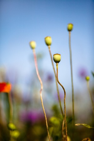 Poppy flowers growing wild on meadows in summer