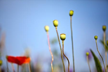 Adormideras flores que crecen silvestres en prados en verano  Foto de archivo - 7721363