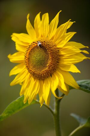 Sunflowers growing on the field in summer Stock Photo - 7848618