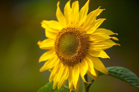 Sunflowers growing on the field in summer Stock Photo - 7848614