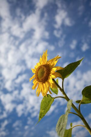 Sunflowers shot against blue sky with small clouds in summer Stock Photo - 7848617