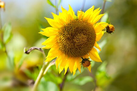Sunflowers growing on the field in summer Stock Photo - 7848616