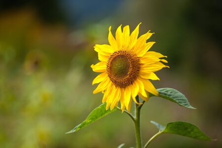 Sunflowers growing on the field in summer Stock Photo - 7848623