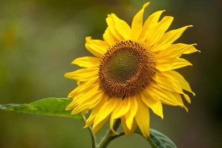 Sunflowers growing on the field in summer Stock Photo - 7848621