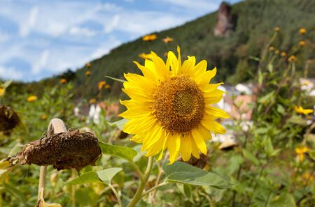 Sunflowers shot against blue sky with small clouds in summer Stock Photo - 7848620