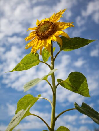 Sunflowers shot against blue sky with small clouds in summer photo
