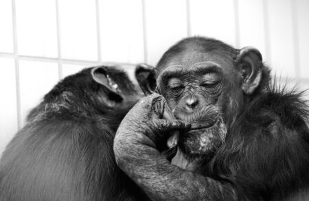 troglodytes: Portrait of common african Chimpanzee Pan troglodytes Stock Photo
