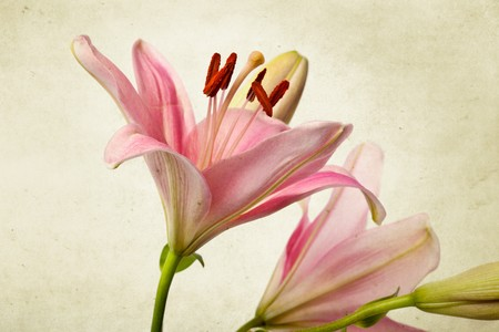 Pink Lily flowers in retro vintage style photo