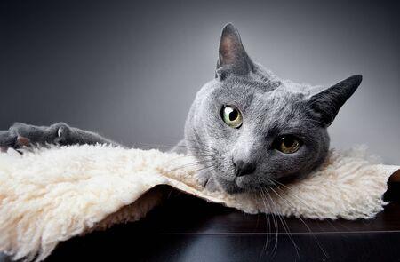 russian blue: Studio Portrait of a russian blue cat
