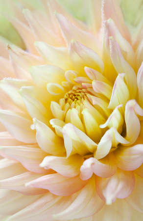 Closeup of dahlia flower macro studio shot photo