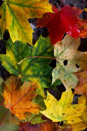 Colorful Maple leaves in Autumn closeup shot photo