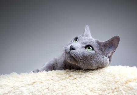 Studio Portrait of a russian blue cat photo