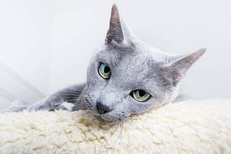Studio Portrait of a russian blue cat Stock Photo - 8137215